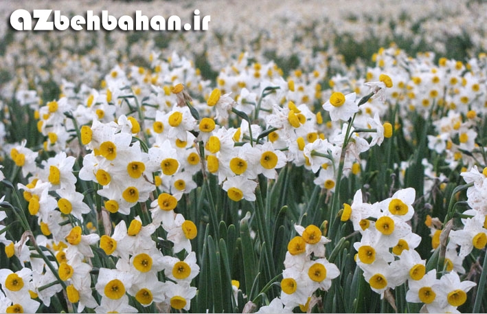 گل نرگس بهبهان