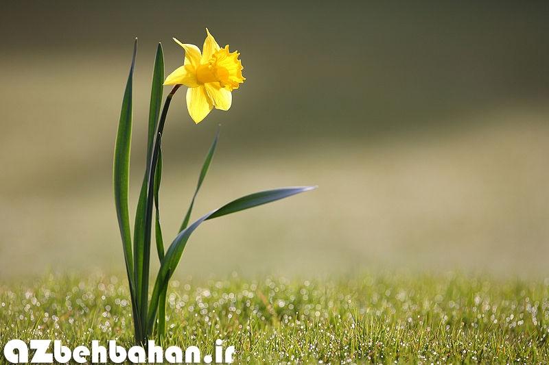 گل نرگس زرد